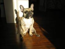 Französische Bulldogge morgens Stockfotografie