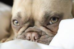 Französische Bulldogge lizenzfreies stockbild
