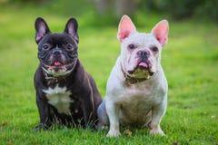 Französische Bulldogge sitzen und wartend auf grünem Gras Lizenzfreie Stockbilder