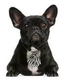 Französische Bulldogge tragendes bowtie, 5 Jahre alt lizenzfreie stockbilder