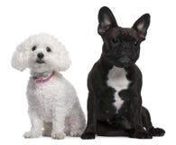 Französische Bulldogge und Bichon Frise Stockfoto