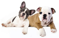 Französische Bulldogge und englischer Bulldoggewelpe Stockfotos