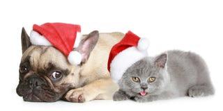 Französische Bulldogge und graues Kätzchen Lizenzfreie Stockbilder