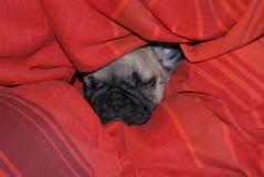 Französische Bulldogge-Welpe Stockfotografie
