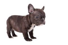 Französische Bulldogge-Welpe Lizenzfreies Stockbild