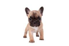 Französische Bulldogge-Welpe Lizenzfreie Stockbilder