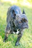Französische Bulldoggen-Brindle-Männerbildnis Stockfoto