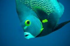 Französische Engelsfische stockfoto
