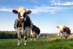 Französische Kühe auf einem Gebiet Stockfotos