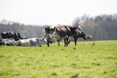Französische Kuh des Rind- Lizenzfreies Stockbild