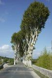 Französische Platanen, die eine Straße zeichnen Stockfotos