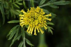Französische Ringelblume lizenzfreies stockbild