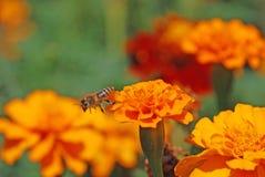 Französische Ringelblumen Stockbilder