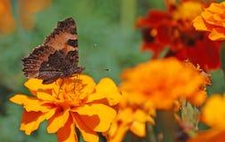 Französische Ringelblumen Stockbild
