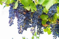 Französische rote und rosafarbene Weinrebeanlage, erste neue Ernte der Weinrebe in Frankreich-, Costieres-De Nimes AOP-Gebiet ode stockfoto