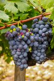 Französische rote und rosafarbene Weinrebeanlage, erste neue Ernte der Weinrebe in Frankreich-, Costieres-De Nimes AOP-Gebiet ode lizenzfreie stockfotografie