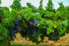 Französische rote und rosafarbene Weinrebeanlage, erste neue Ernte des Weins stockfotografie