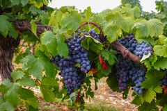 Französische rote und rosafarbene Weinrebeanlage, erste neue Ernte des Weins stockfotos