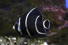 Französischer Angelfish Lizenzfreie Stockfotos