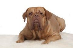 Französischer Mastiff auf weißem Pelzteppich Stockfotos