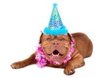 Französischer Mastiffwelpe mit in Partykegel Stockbild