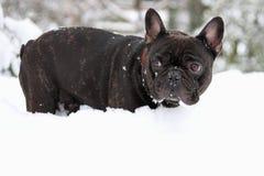 Französischer Stierhund im Schnee Lizenzfreie Stockfotos
