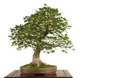 Französisches Ahorn Acer-monspessulanum als Bonsaibaum Stockbild