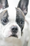 Französisches bulldog& x27; s-Gesicht im Unschärfehintergrund Stockfotografie
