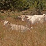 2 französisches Charolaisvieh im langen trockenen Gras Stockfotografie