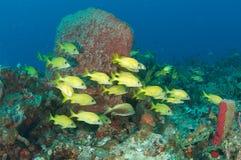 Französisches Grunzen und Koralle Lizenzfreie Stockfotos