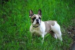 Franz?sische Bulldogge auf der Stra?e lizenzfreies stockbild