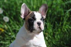 Franz?sische Bulldogge auf der Stra?e lizenzfreie stockfotografie