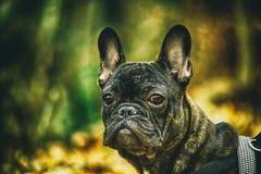 Franz?sische Bulldogge stockfotos