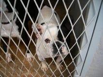 Franzose-Stier-Hund in einem Hundepfund Lizenzfreie Stockbilder