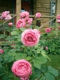 Franzosen Rose nahe dem Haus stockfotos