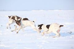 Franzosen, welche die Hunde spielen im Schnee zeigen Stockfoto