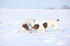 Franzosen, welche die Hunde spielen im Schnee zeigen Lizenzfreies Stockfoto