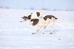Franzosen, welche die Hunde spielen im Schnee zeigen Lizenzfreie Stockfotografie