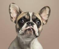 Französische Bulldogge, auf beige Hintergrund Stockbild