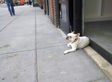Französische Bulldogge im Eingang eines Cafés Stockbilder