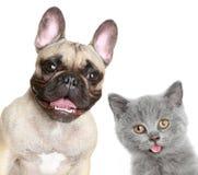 Französische Bulldogge und graues Kätzchen Stockfotos