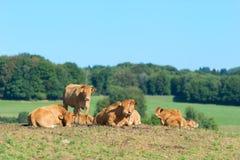 Französische Limousinenkühe Lizenzfreies Stockfoto