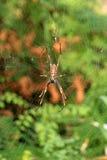 fraser海岛蜘蛛 库存照片