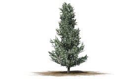 Fraser Fir träd i vintern vektor illustrationer