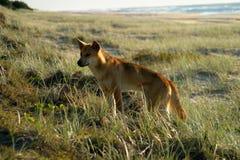Fraser island australia dingo. Fraser island australia beach road car tyre tracks escape tropical dingo dog wildlife grass Stock Photos