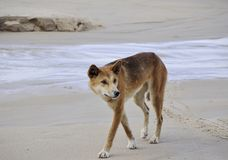 Fraser Island Dingo Arkivfoto