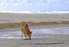 Fraser Island Dingo Fotografering för Bildbyråer