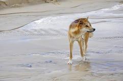 Fraser Island Dingo Arkivfoton