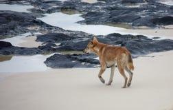 Fraser Island Dingo on beach. An Australian dingo walks along the beach to rock pools on Fraser Island, Queensland, Australia Stock Photos