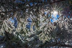 Fraser Jedlinowi drzewa 2 Zdjęcie Stock